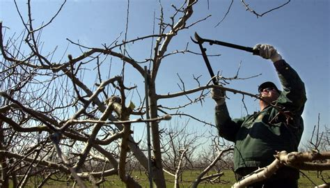 pruning fruit tree fruit tree pruning artsipelago