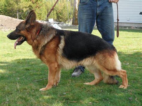 german shepherd puppies for sale in montana montana german shepherd puppies for sale mt stud service dogs