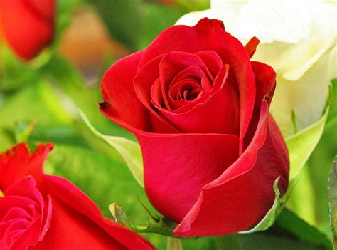 6 gambar bunga mawar cantik cocok untuk wallpaper gambar animasi gif swf dp bbm animasi