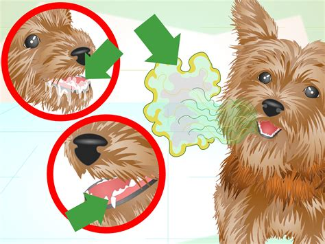 yorkie gums how to keep your yorkie s teeth clean with pictures wikihow