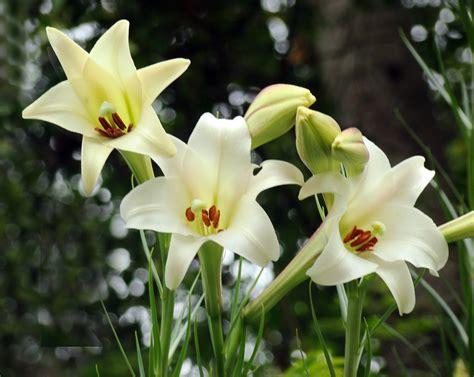 Imagenes Flores Lirios | im 225 genes de flores y plantas lirios