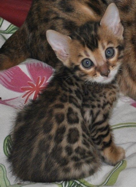 Guess Bengale 44 best bengal cats images on
