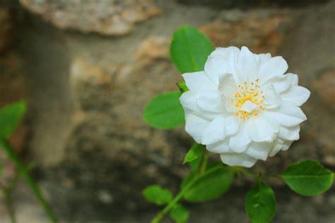 Mawar Hijau Green Roses Plants Tanaman Bunga Hias Unik Langka gambar alam mekar menanam daun bunga mawar hijau botani taman flora bunga putih