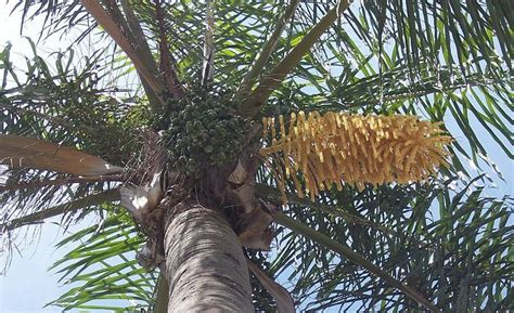 palm tree fruit name syagrus romanzoffiana palm with flowers and