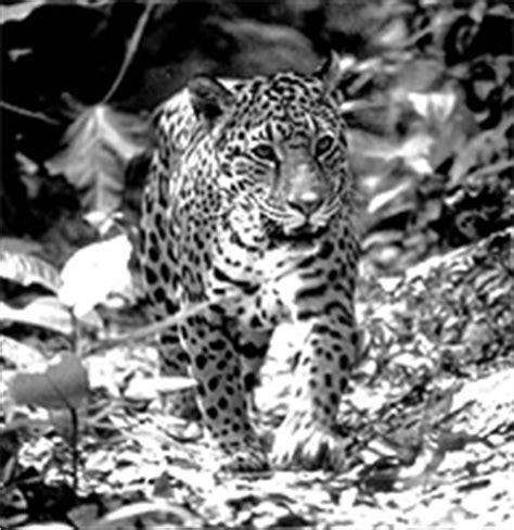 imágenes jaguar negro conociendo a otros mexicanos