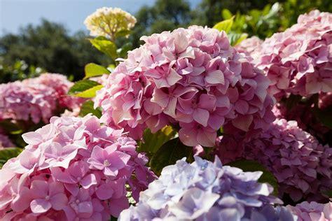 come coltivare le ortensie in vaso come coltivare le ortensie in vaso o nel giardino