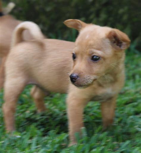 fox terrier x pomeranian cole small miniature fox terrier x pomeranian mix in nsw petrescue