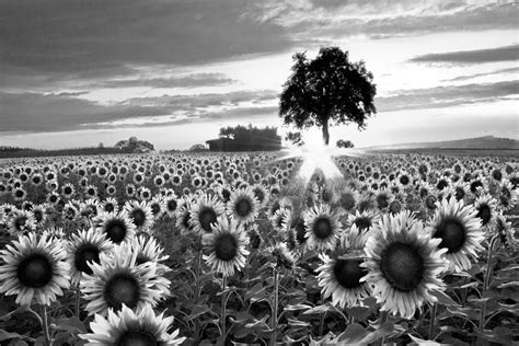 Nature Duvet Cover Sunflower Fields In Black And White Photograph By Debra