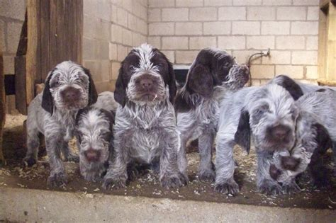 spinone puppies italian spinone puppies york pets4homes