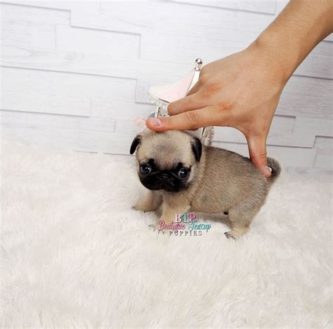 teacup pug grown amazing lil bebe gorgeous micro teacup pug baby sold todanette boutique