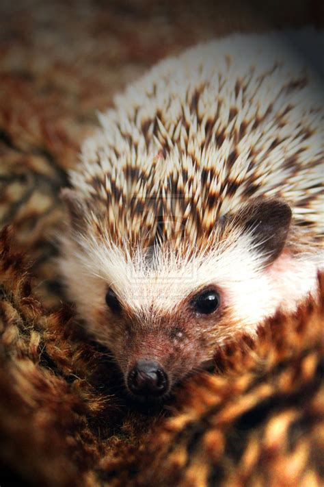 pygmy hedgehog pygmy hedgehog