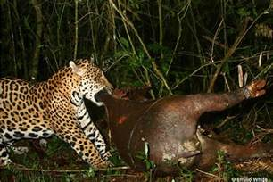 Jaguar Vs America S Jaguar El Jefe Is A