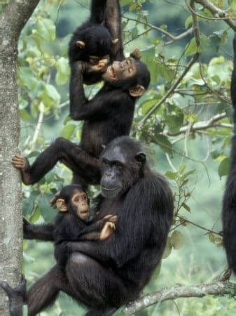 biography of muhammad kabiru gombe chimpanzees have given me so much the l by jane goodall