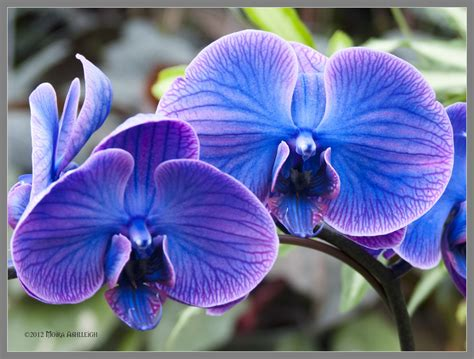 blue orchid blue orchids by mogrianne deviantart on