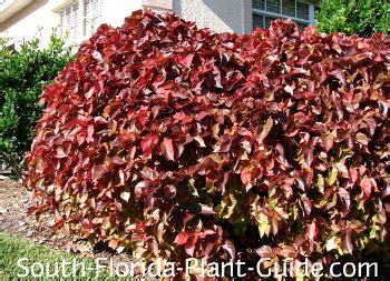 Acalypha Wilkesiana Blaze copper plant