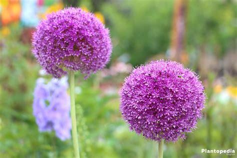 allium flower bulbs how to plant grow and core for allium plantopedia