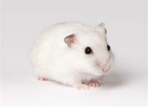 hamster with protrusion of eyeball eye bulging in hamsters petmd