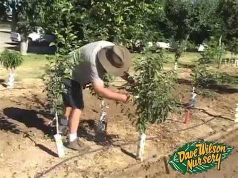 Dave Wilson Nursery Backyard Orchard by Backyard Orchard Demo Summer Pruning