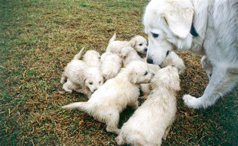 Backyard Pets Maremma Sheepdog Burke S Backyard