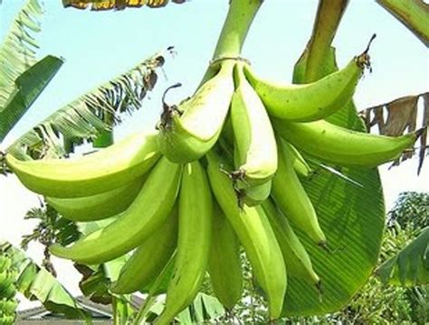 Bibit Pisang Ambon Dengan Rasa Yang Sangat Manis pisang tanduk ukuran buahnya besar dan menyerupai tanduk