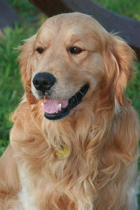 with golden retriever golden retriever wikip 233 dia a enciclop 233 dia livre