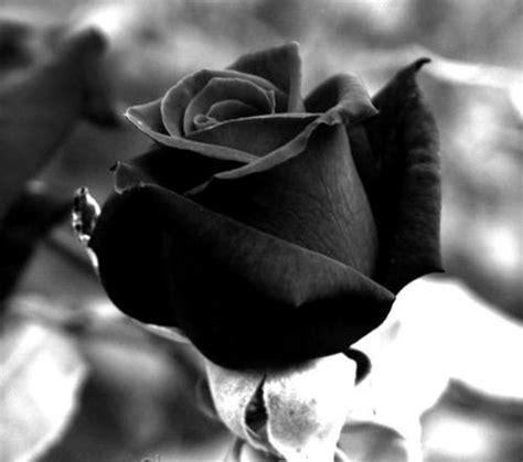 imagenes boinas negras banco de imagenes y fotos gratis flores negras parte 2
