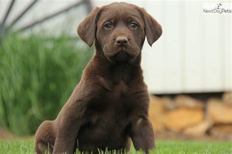 lab puppies for adoption near me labrador retriever puppy for sale near lancaster pennsylvania 70297486 c761