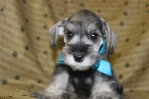 miniature schnauzer puppies for sale in pa miniature schnauzer puppies for sale puppies for sale in pa breeds picture