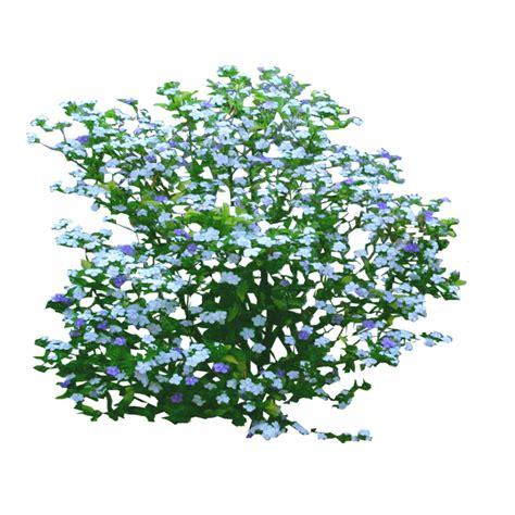 yesterday today and tomorrow shrub by lilipilyspirit on
