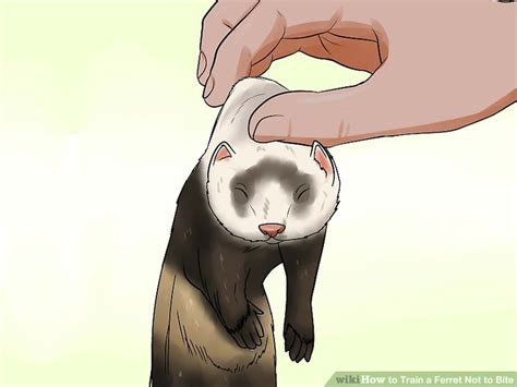 how to the not to bite how to a ferret not to bite 10 steps with pictures