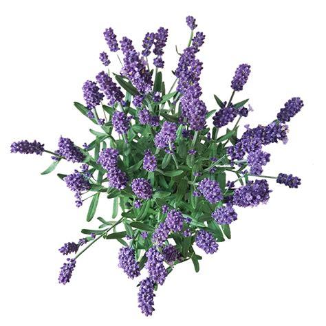 bäumchen im topf lavendel im topf bestellen lavendel pflanze kaufen