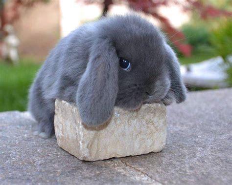 coniglio nano testa di prezzo cuccioli conigli nani ariete casa fabri a a roma