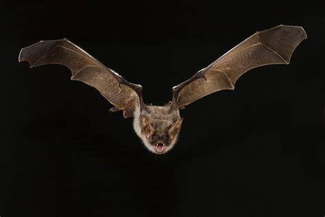 pipistrello le bats crash into windows because of a glitch with their