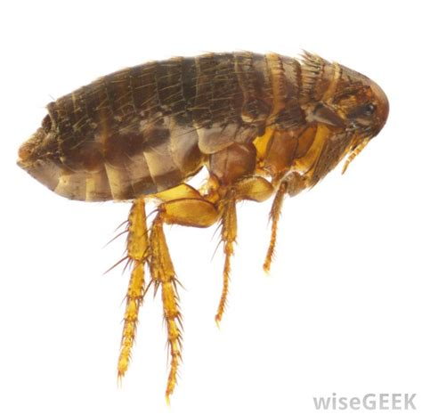how do i get rid of fleas in my house how do i get rid of fleas naturally with pictures