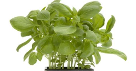 growing herbs indoors from seeds how to grow herbs in pots from seed ehow uk