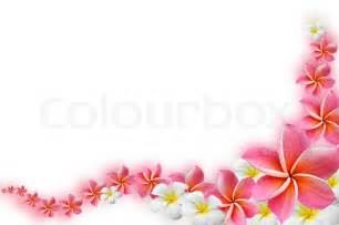 Pretty Tropical Flowers - frangipani flowers border design stock photo colourbox