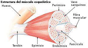 clasificacion de las cadenas musculares pdf fisiolog 237 a humana sistema muscular wikilibros