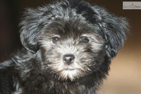 havanese puppies for sale preloved havanese puppy for sale near brainerd minnesota 30c407ba d9a1