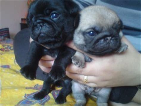 puppies for sale in brunswick ga pets brunswick ga free classified ads