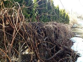 pruning grape vines images frompo