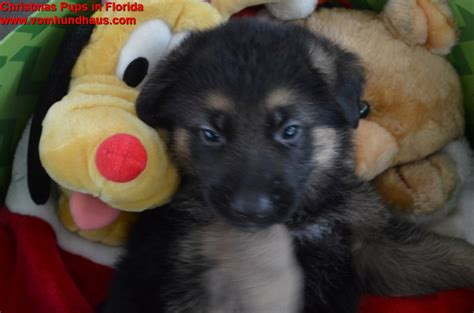 white german shepherd puppies for sale in florida white german shepherd puppies ta florida