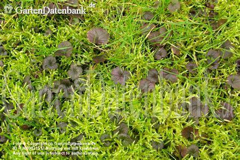Pilze Im Rasen Kalk by Wie Bek 228 Mpft Moos Im Rasen Unkraut Moos Hexenringe Im