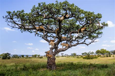 a tree photos show serengeti lions napping in a tree grindtv