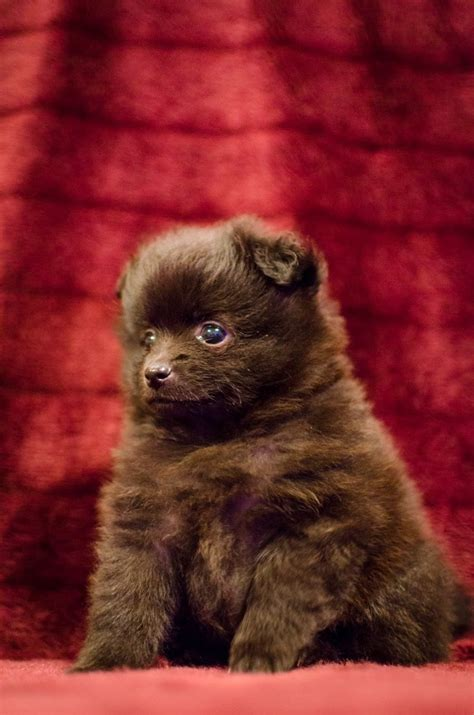kennel club pomeranian breeders ckc registered pomeranian puppies for sale