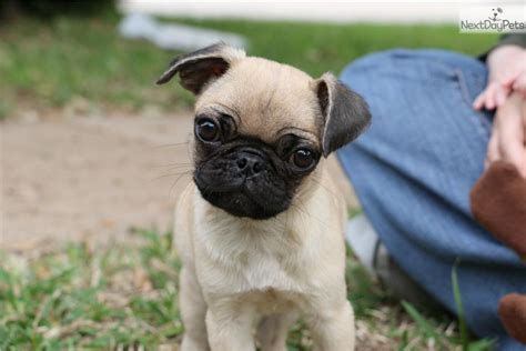 pugs dallas tx pug puppy for sale near dallas fort worth 3a1009ad 5fb1