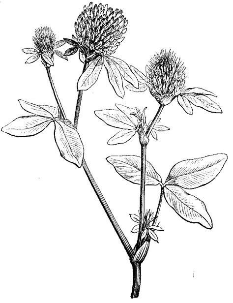 sketchbook clover clover drawing www pixshark images galleries