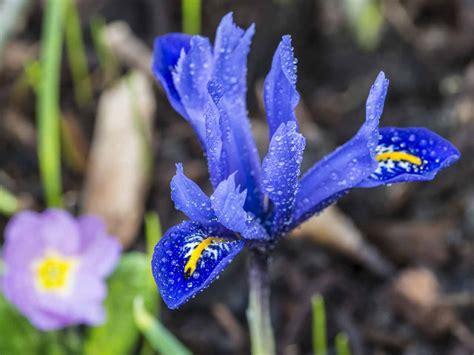 flowering garden plants how to grow the winter flowering iris saga