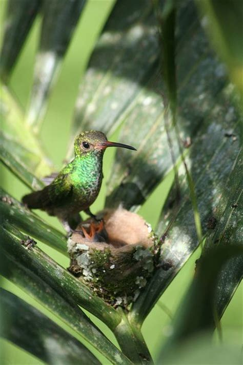 174 best images about hummingbird heaven on pinterest