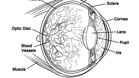 eye anatomy coloring page human muscle coloring pages human eye anatomy coloring