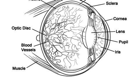 eye anatomy coloring page human muscle coloring pages human eye anatomy coloring